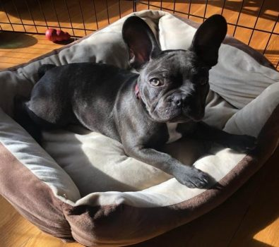 Best Bed for French Bulldog