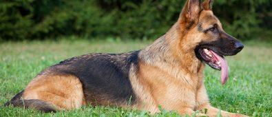 best dog bed for german shepherd
