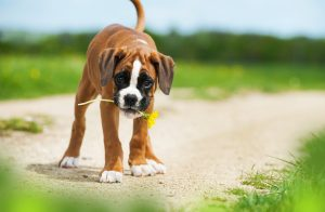 Best shock collar for Boxers