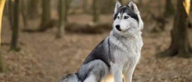 Top Best Shock Collar For Husky