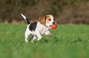 best shock collar for beagles