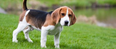 Best Collar For Beagles