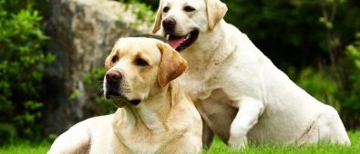 Top Best Shock Collar for Labs