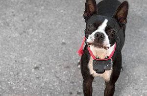How to Use Shock Collars for Dogs