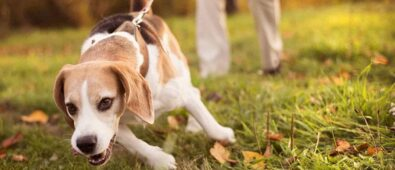 how to train a beagle with a shock collar