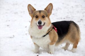 best bark collar for Corgi